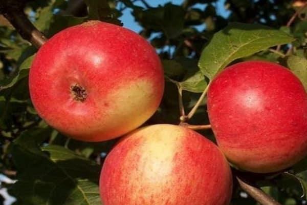 Яблоня соколовское: описание сорта, фото дерева и плодов, отзывы садоводов