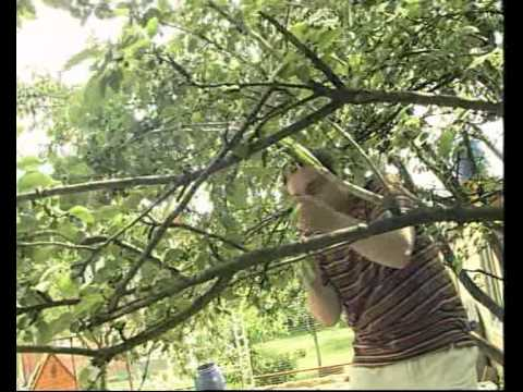 Через сколько лет начинает плодоносить яблоня. на, какой год начинает плодоносить яблоня после посадки саженцев