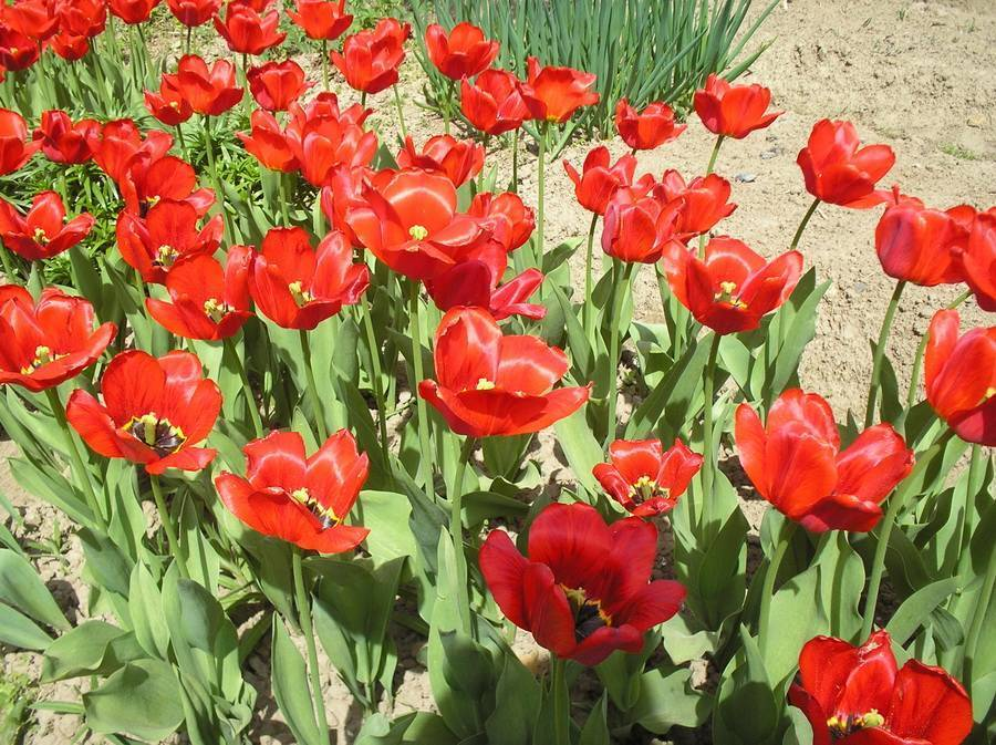 Когда и как пересаживать тюльпаны после цветения