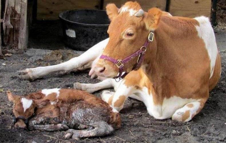 Осложнения после отела коровы | задержание последа коровы после отела | лечение осложнений после отела
