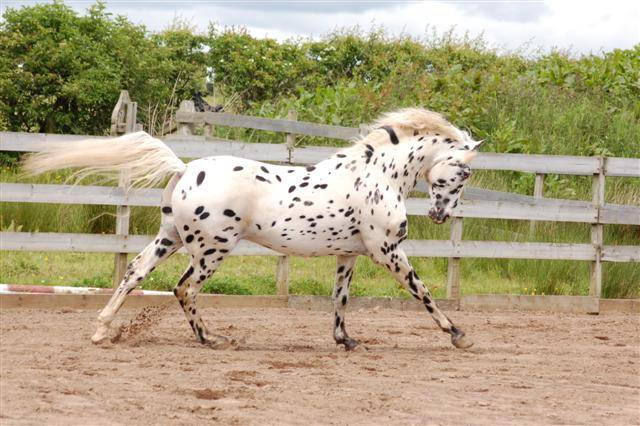 Порода аппалуза (лошадь): описание, особенности, уход, история происхождения и отзывы
