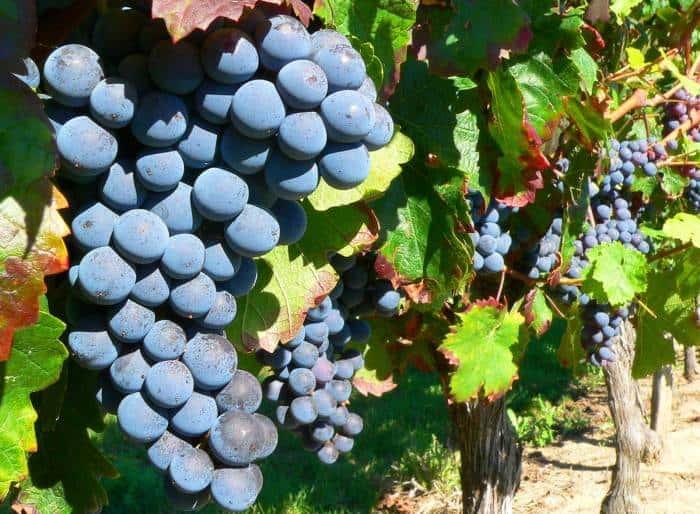 Виноград изабелла: описание сорта, фото, отзывы, видео