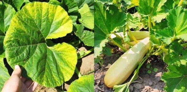 Опадают завязи у кабачков - как спасти урожай?   огородник у кабачков опадают завязи: проверенные способы устранения проблемы   огородник