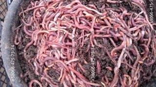 Бизнес на червях: план доходного разведения