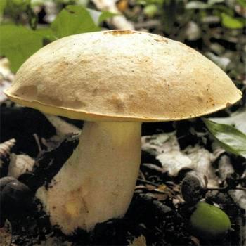 Полубелый гриб или желтый боровик: пахнет йодом или антесептиком