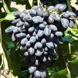Сорт винограда атос: фото и описание, отзывы, уход