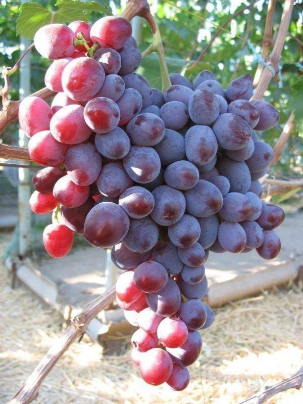 Виноград низина: достоинства, описание сорта, посадка, уход, отзывы