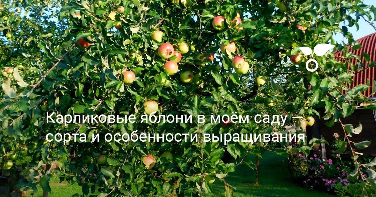 Сколько живет яблоня. продолжительность жизни яблони