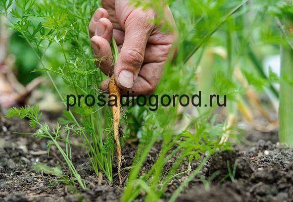 Как проредить морковь правильно? :: syl.ru