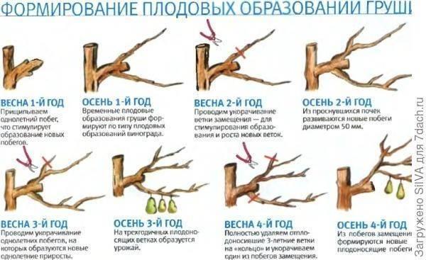 Уход за грушей весной: что нужно делать на даче