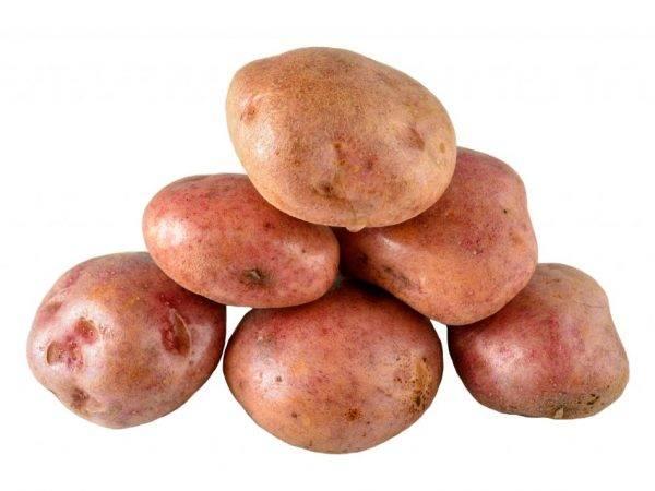 Картофель «зекура»: описание сорта, характеристики, фото, особенности его выращивания