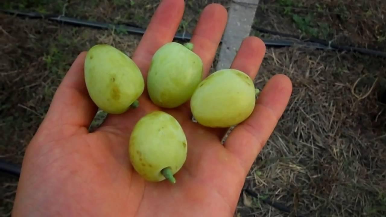 Виноград дарья: характеристика и описание сорта, особенности, посадка и уход - о цветах