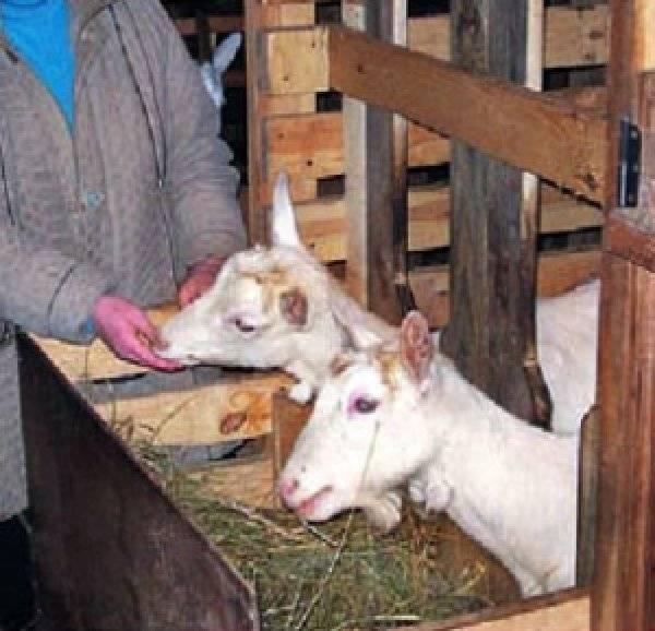 Хлев для скотины: сарай для скота своими руками