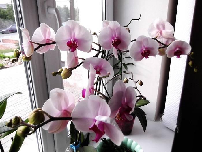 Как заставить орхидеи цвести в домашних условиях? способы стимуляции на ydoo.info