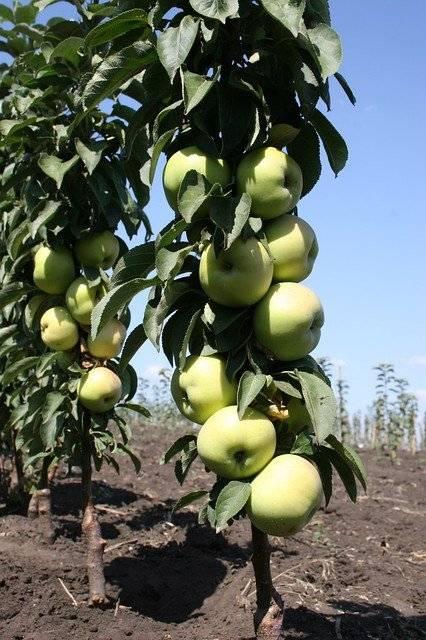 Обзор и выращивание колоновидных сортов яблони для сибири