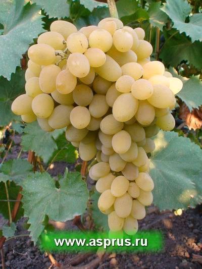 Выращивание винограда в беларуси: краткий обзор лучших сортов