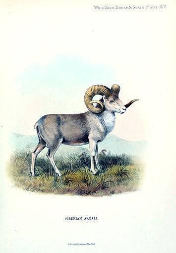 Алтайский горный баран: фото, описание, характеристика