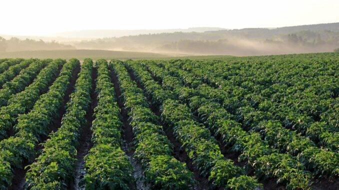 Как вырастить хороший урожай картофеля: различные методы и способы, посадка и уход