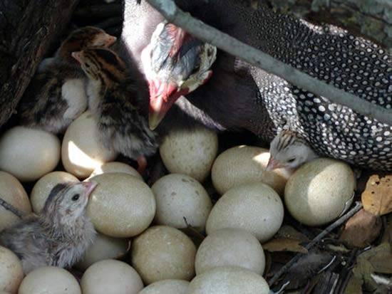 Когда начинают нести яйца цесарки: как часто и с какого времени несутся, свойства яиц