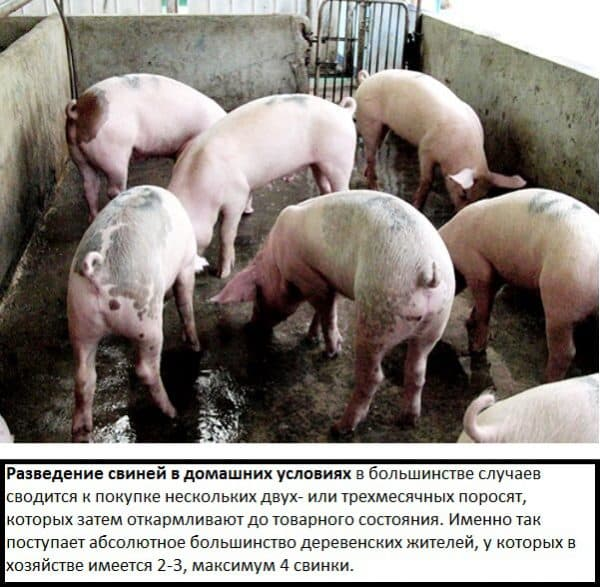 Свиноматка: правила содержания и ухода за свиньей