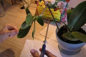 Как пересадить отросток орхидеи в домашних условиях на цветоносе: пошаговое фото и видео от специалистов