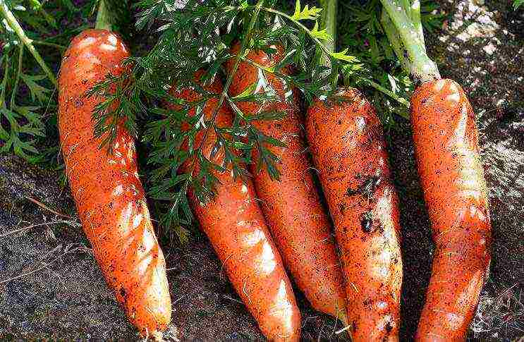 Когда сажать морковь в открытый грунт