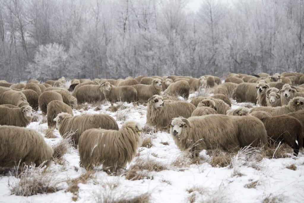 Как содержать овец - овцеводство - животноводство - собственник