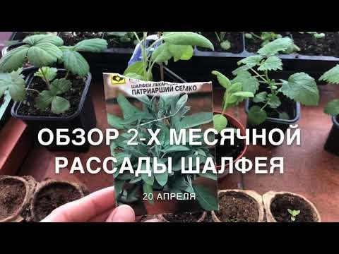 Шалфей: выращиваем на даче с помощью простых советов