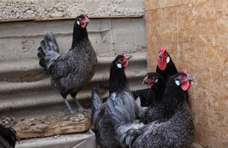 Ла флеш порода кур: описание, фото, характеристики - домашние наши друзья