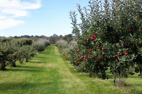 Посадка яблони осенью: сроки и правила высадки саженца в открытый грунт
