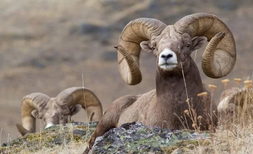 Дикие горные бараны: виды, описание