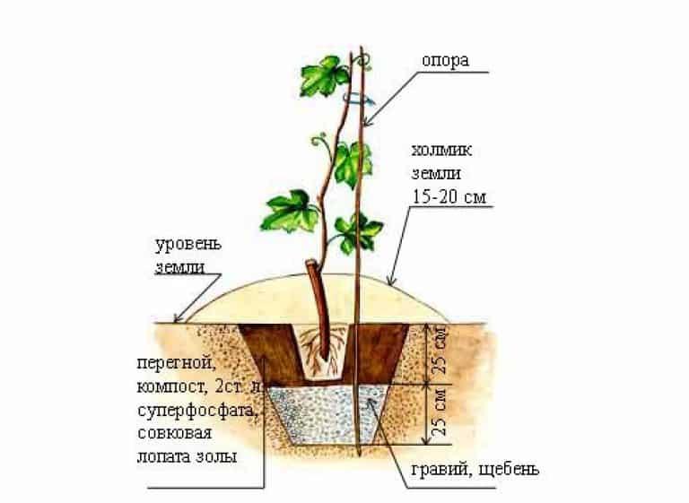 Выращивание девичьего винограда - посадка, уход, размножение черенками и отводками