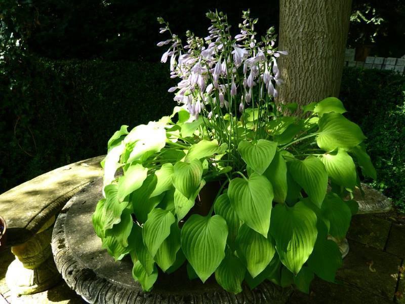 Хоста – выразительный декор вашего сада