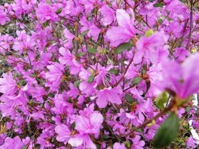 Рододендрон садовый: посадка и уход, фото морозостойких сортов и гибридов рододендрон садовый: посадка и уход, фото морозостойких сортов и гибридов