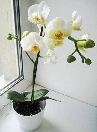 """Цветы тоже """"ленятся"""" – что делать если орхидея не цветет?"""