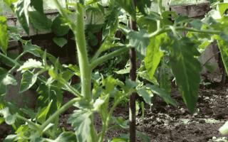 Как пасынковать помидоры: пошаговая видео инструкция, 135 фото и схемы как правильно пасынковать томаты