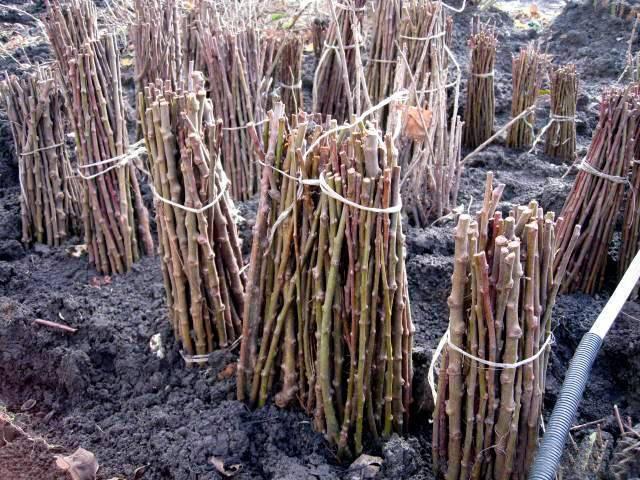 Выращивание винограда из черенков в домашних условиях зимой и весной: подготовка, укоренение, кильчевание, высадка в школку