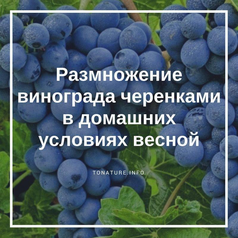 Разведение винограда черенками: советы по уходу