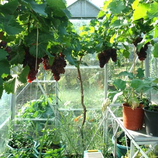 Как утеплить виноград на зиму: инструкция + видео