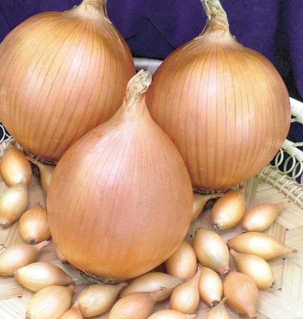 Лук шетана: описание сорта, как садить и выращивать?