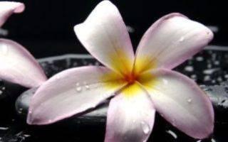 Плюмерия (plumeria). уход, период покоя, размножение в домашних условиях. | floplants. о комнатных растениях