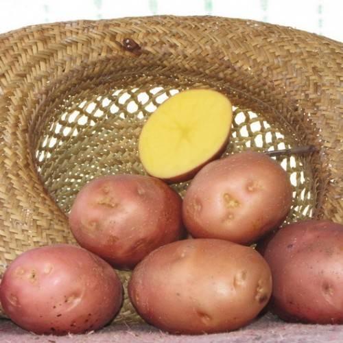 Картофель лилли: описание сорта, фото, отзывы о вкусовых качествах и характеристика урожайности, особенности посадки и выращивания
