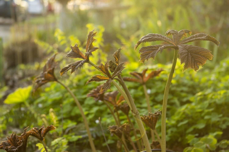 Растение роджерсия: фото, сорта, выращивание, посадка и уход в открытом грунте