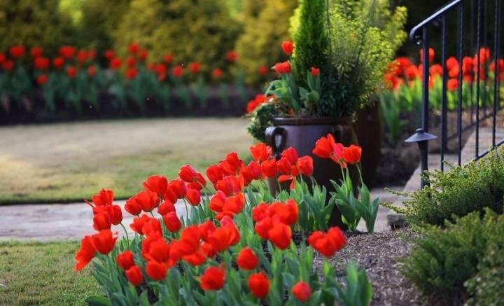 Почему не цветут тюльпаны: что делать, если у цветка одни листья