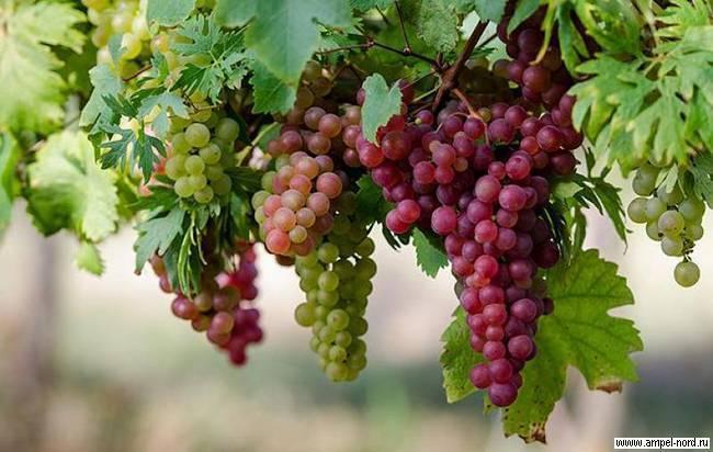 Обработка винограда в июне: средства, рецепты