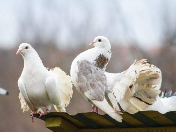 ᐉ голуби пакистанские высоколетные бойные - zooshop-76.ru