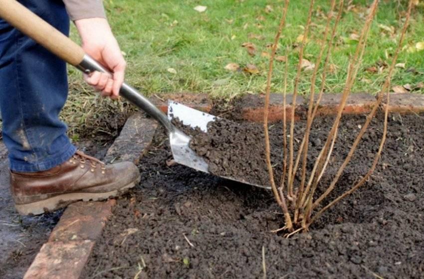 Смородина осенью: посадка и уход в саду, обрезка, пересадка, подкормка
