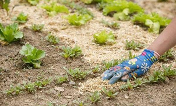 Опилки для огорода: польза и вред, применение