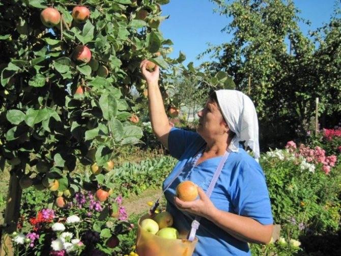 Яблоня веньяминовское: особенности сорта и ухода