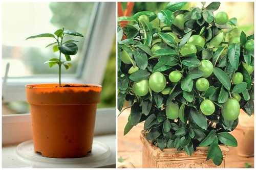 Драцена лимон лайм: описание тропического растения, фото и уход в домашних условиях selo.guru — интернет портал о сельском хозяйстве